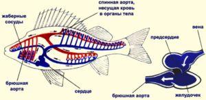 Obehový systém rýb preberá jedno átrium a komoru