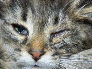 Mačka má jedno alebo obe oči napojené: príčiny