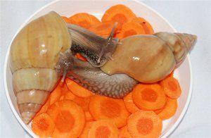 Street snails a ahatina - čo jedia, jedlo pre zdravého maznáčika