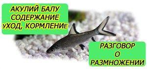 Podmienky zachovania a rozmnožovania akvarijných rýb žralokov