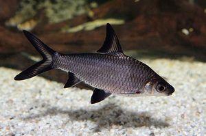 Akváriové ryby, ako žralok