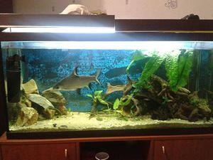 Barbus - ryby akvária