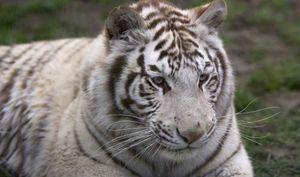 Vidieť tigra vo sne. Interpretácia v knihe snov