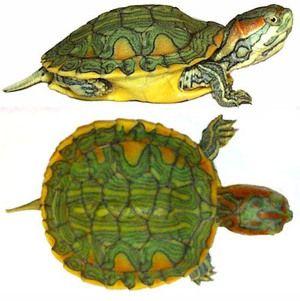 Druhy a vlastnosti pôdnych korytnačiek