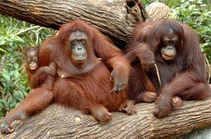 Typy opíc s názvami, charakteristikami každého plemena