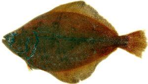 Ako vyzerá plochá ryba