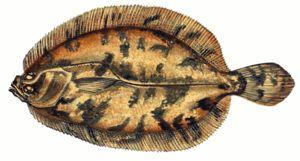 Charakteristika plochých rýb
