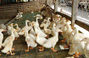 Aké podmienky sú potrebné pre chov kačiek?