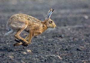 Zajačik je väčší, silnejší a rýchlejší ako králik