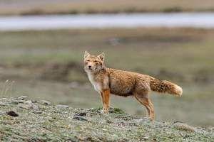 Tibetská líška