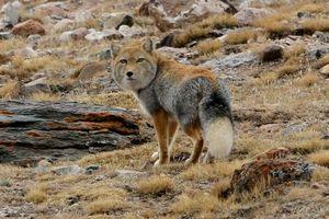 Habitát tibetskej líšky