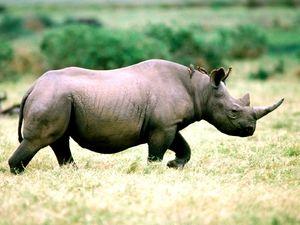 Farba čierneho nosorožca