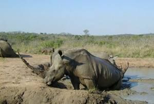 Čierne nosorožce