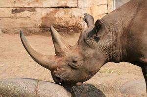 Horn nosorožec