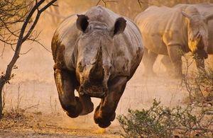 Rozzuřený nosorožca