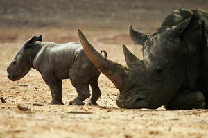 Ženské čierne nosorožec s mláďaťom