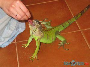 Zelená alebo obyčajná iguana doma