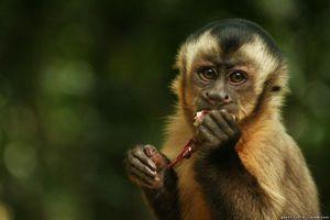Druh opíc kapucín - rozlišovacie znaky