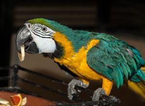 Parrot aura - nahlas, silný, jasný