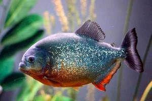 Ryby piranha - malé žrdečné hsschniki