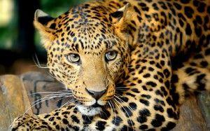 Leopard v Južnej Amerike - spôsob života