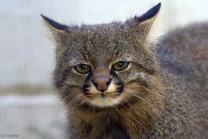 Pampas mačka - vzhľad