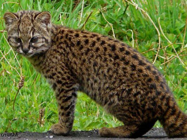 Chilská mačka - habitat a návyky