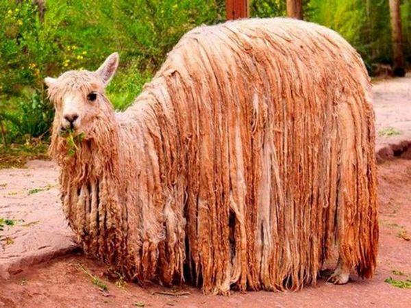 Zvieratá Južnej Ameriky - alpaka