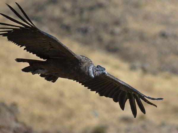 Andean Condor - let dravca