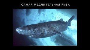Atlantický polárny žralok - reprodukcia