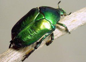 Beetle bronzovka: znaky, larvy a poškodenie zeleného chrobáka