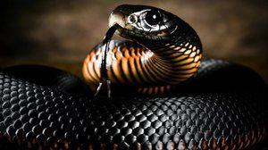 Snake black mamba: životný štýl a biotop
