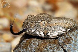 Snake gyurza - spôsob života, výživa, reprodukcia - jed gyurzy