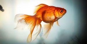 Zlatá rybka: druh, reprodukcia, obsah